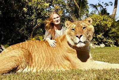 The Deadly Hybrid Liger - Biggest Cat In The World, Cross Breed Of A Lion Male And Tiger Female - World's Most Amazing Things, Photos, Facts, News, Ideas, Places...